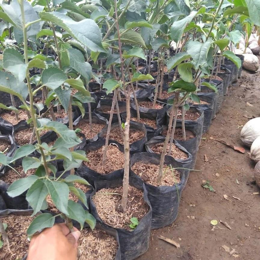 Bibit Buah Apel fuji Merah Bibit Apel Fuji Asli Okulasi Tambulapot Cepat Berbuah Bisa COD Sumatra Barat