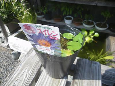 熱帯スイレン(睡蓮)の苗