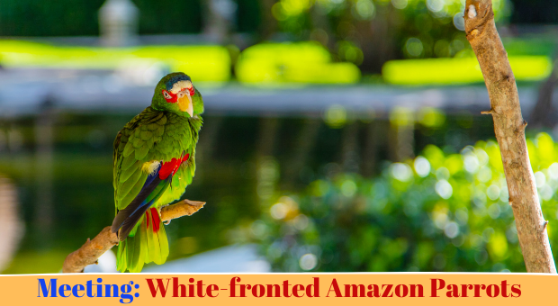 all about White-fronted Amazon Parrots