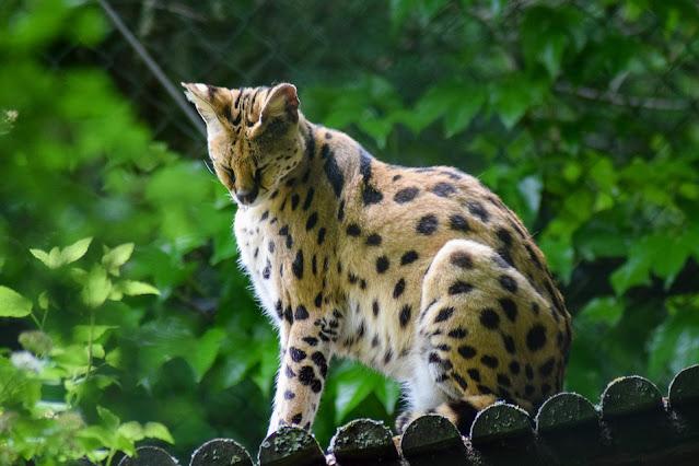 Do serval cats make good house pets? | BC SPCA