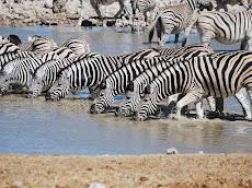 Zebra , Pelari Cepat Yang Lorengnya Tidak Ada Yang Sama