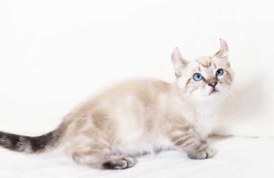 Jenis Ras Kucing Kinkalow