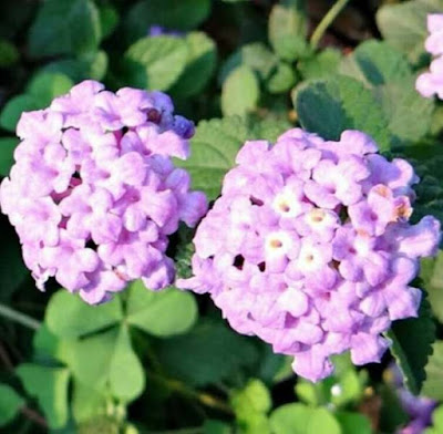 lantana ungu