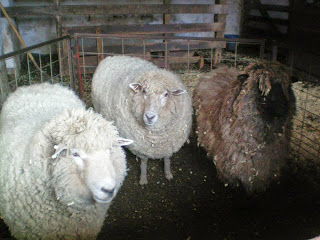 Sheep_at_Daniel_Boone_Homestead_2014_before_shearing