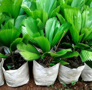 Jual Pohon Palem Kol / Kipas | Aneka Pohon Palem Indoor | Jasa Tukang Taman Dibogor