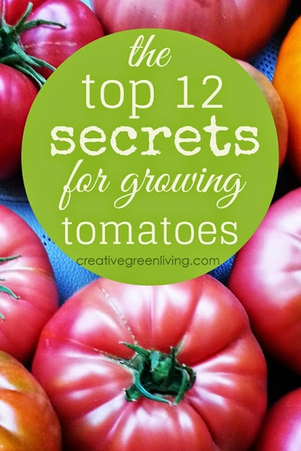 My Top 12 Secrets to Growing Better Tomatoes #creativegreenliving