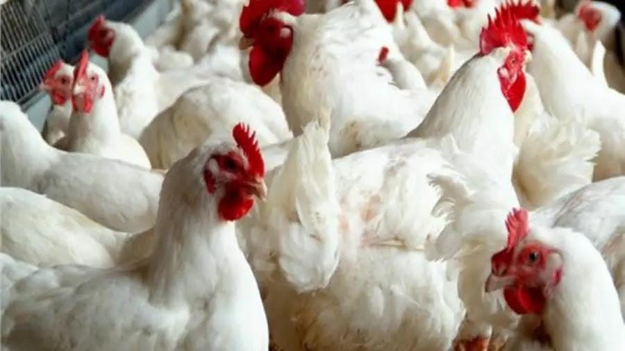 أسعار الفراخ البيضة اليوم وغدا شهر أغسطس في مصر 2021