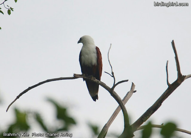 Brahminy Kite at Waigeo island