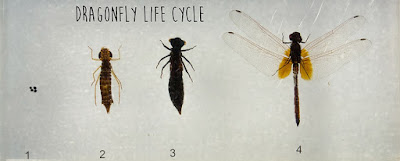 Life cycle of Dragonfly