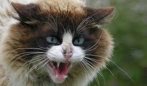 rabia-gatos-vacunas-prevención