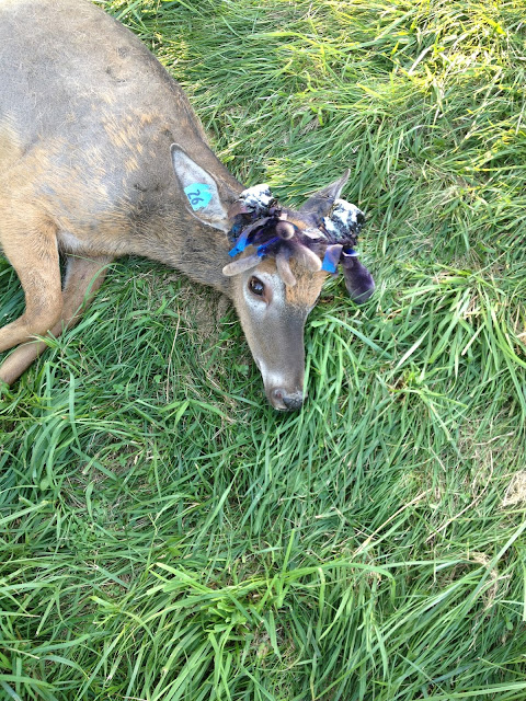 antler removal deer