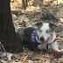 Ο σκύλος που σώζει κοάλα από τις πυρκαγιές...
