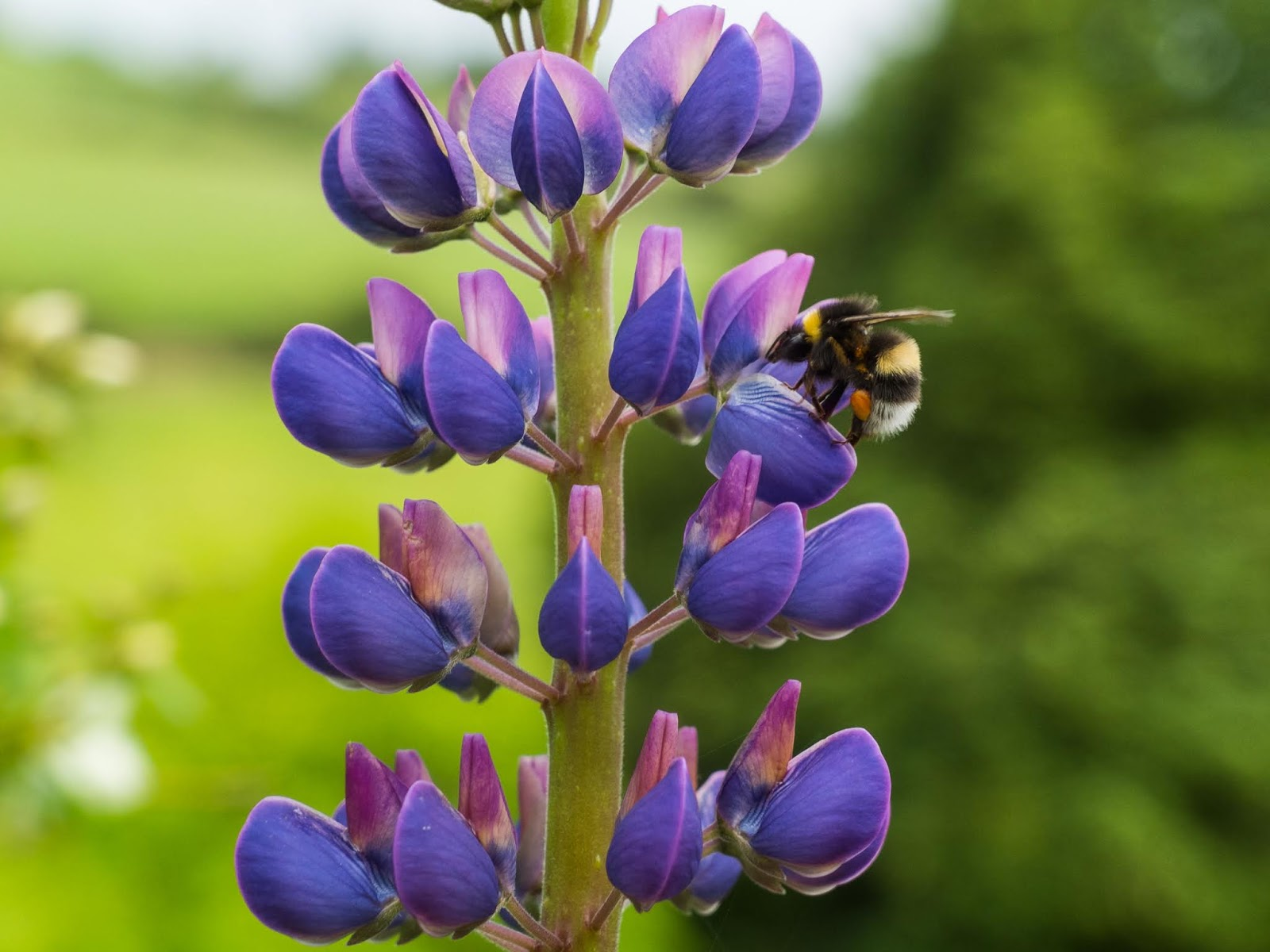 A bumble bee collecting pollen from a purple Lupine flower.