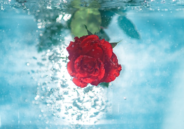 فوائد ماء الورد للشعرالقصير