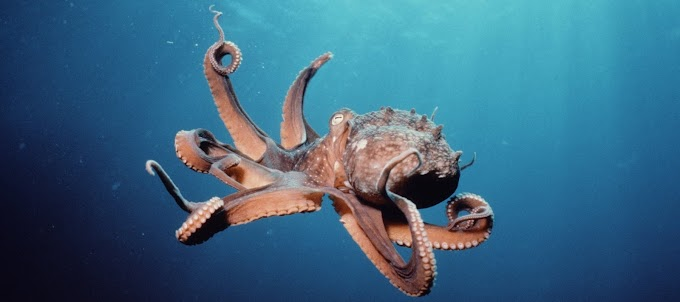 Octopuses have three hearts, nine brains, and blue blood