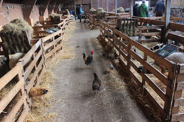 Texel Sheep Farm