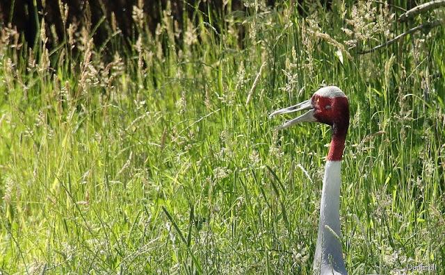Grue antigone, Parc des oiseaux de Villars-les-Dombes