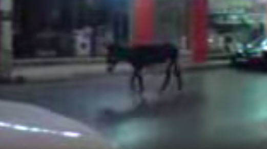 Ένας γάιδαρος που, όπως φαίνεται, δεν άντεξε άλλο στο στάβλο, άρχισε τις βόλτες στην πόλη του Αλιβερίου.