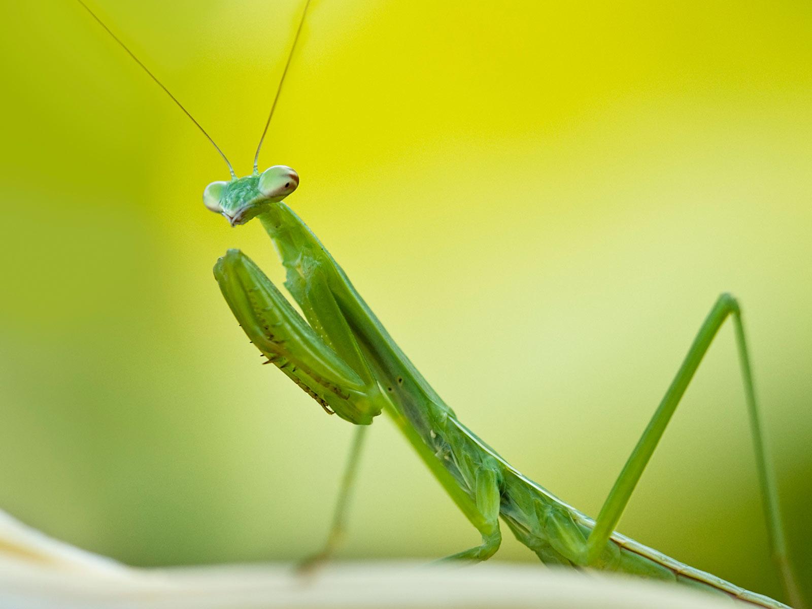 Praying Mantis Wallpapers | Animals Library