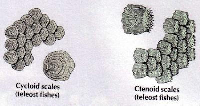 Struktur sisik cycloid dan sisik ctenoid