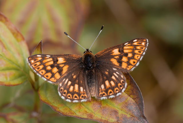 Duke of Burgundy - Kent