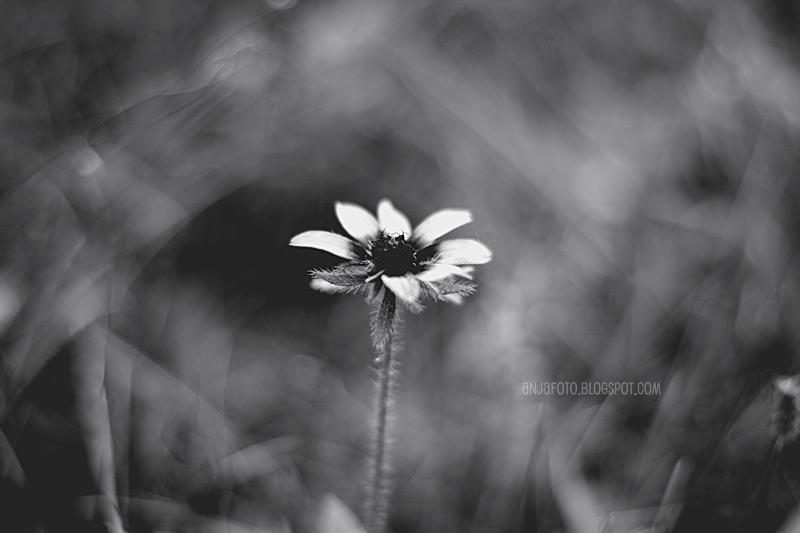 rudbekia, kwiaty, fotograifa kwiatów, fotografia czarno biała, black and whit, minimalizm, fotografia minimalistyczna, bokeh