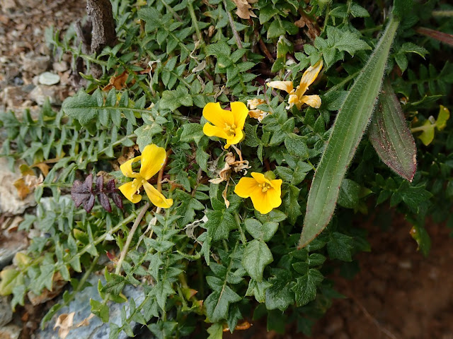 Morisia monanthos