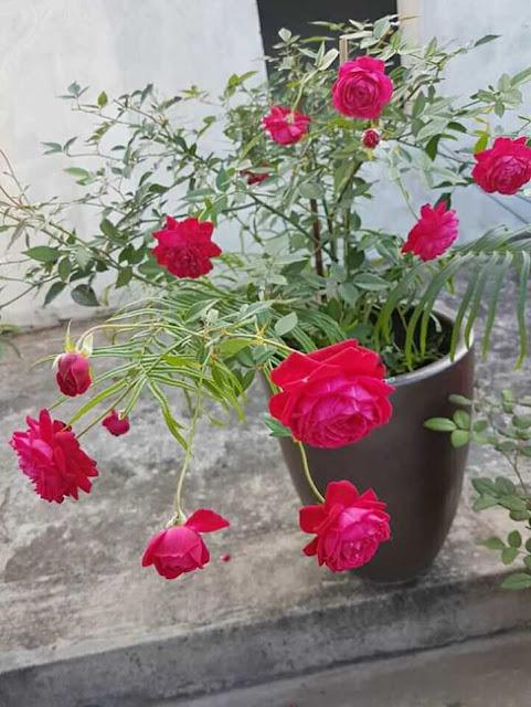 hoa hồng quế kép cho bông màu đỏ rực rỡ