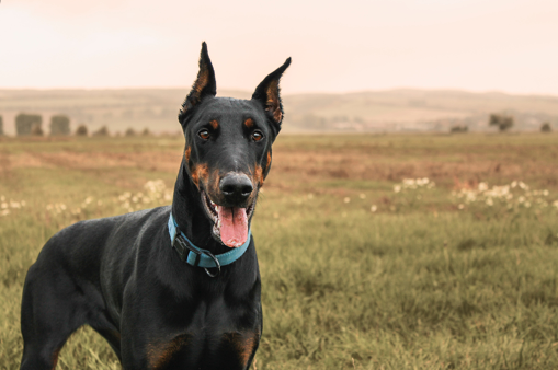 which is best dog breed for families, dog breeds for family, doberman pure breed