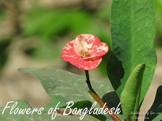 Flowers-of-Bangladesh