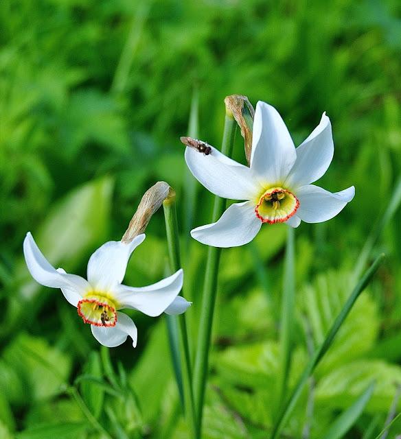 Narcissus poeticus 'Recurvus'