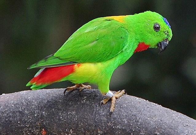 Mengenal Lebih Dekat Jenis Burung Serindit Dari Daerah Asalnya Kicau Mania