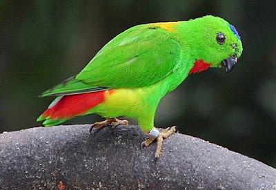 Mengenal Lebih Dekat Jenis Burung Serindit Dari Daerah Asalnya