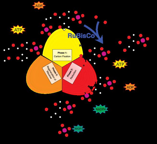 Reaksi Gelap Fotosintesis Siklus Calvin Pada Tumbuhan
