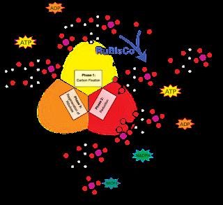 ialah reaksi kimia yang mengubah karbon dioksida dan senyawa lainnya menjadi glukosa Reaksi Gelap Fotosintesis Siklus Calvin pada Tumbuhan
