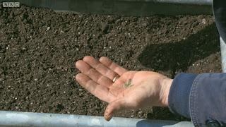 Sowing Flat Leaf Parsley