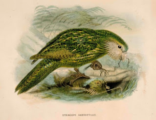 Kākāpō or Owl Parrot from Buller's Birds of NZ.