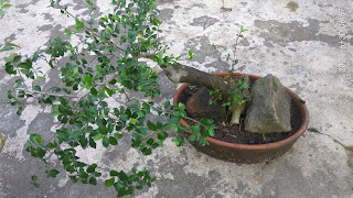 Belajar Membuat Bonsai Serut dari Tanaman Serut Liar di Kebun. Foto: Titim Matun Nasriyah