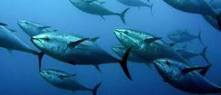 Blackfin Tuna Facts, Habitat, Size, Location, Lifespan