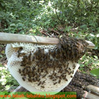 cara memindah koloni lebah madu liar kedalam kotak
