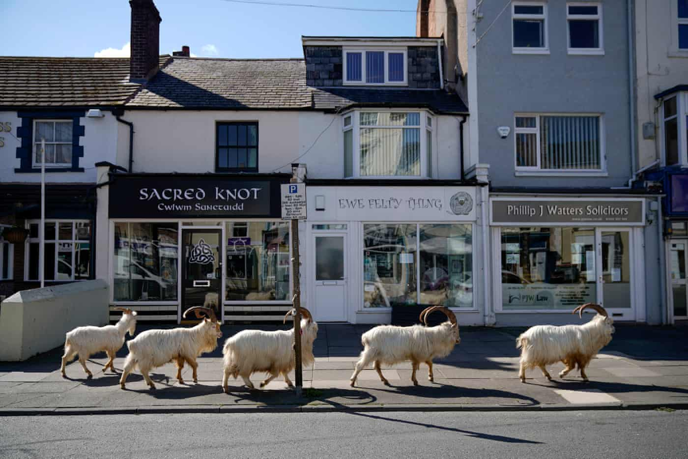 A group of white mountain goats walk in front of shops in the town centre of Llandudno