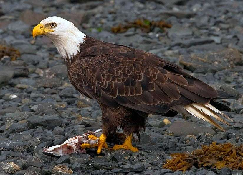 More about the Eagle