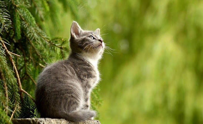 Average Lifespan of  Cats- Domestic, Indore, Outdoor and Wild