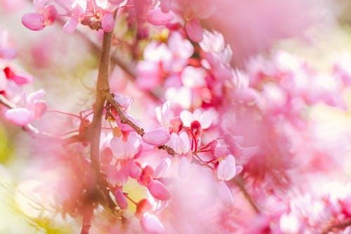 jenis-jenis bunga sakura di indonesia
