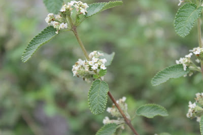 Mexican Oregano (Lippia Graveolens) Overview, Health Benefits, Side effects