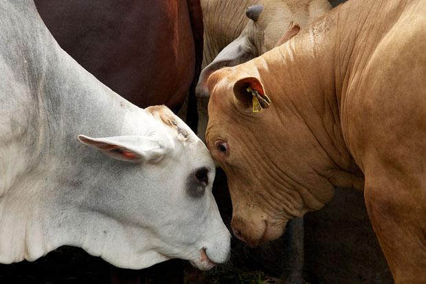 AÇOUGUEIROS DE TODA A REGIÃO SÃO SURPREENDIDOS POR FISCALIZAÇÃO QUE INVESTIGA  O ABATE CLANDESTINO DE ANIMAIS