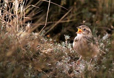 5 Cara Perawatan Burung Branjangan Lokal Untuk Anda Yang Masih Pemula