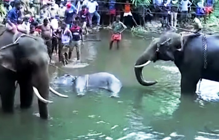 A pregnant elephant brutally killed in Kerala by feeding a pineapple stuffed with firecrackers, causing an explosion in her mouth