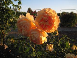 Deep peach colored roses.