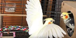 Makanan Burung Falk Australia